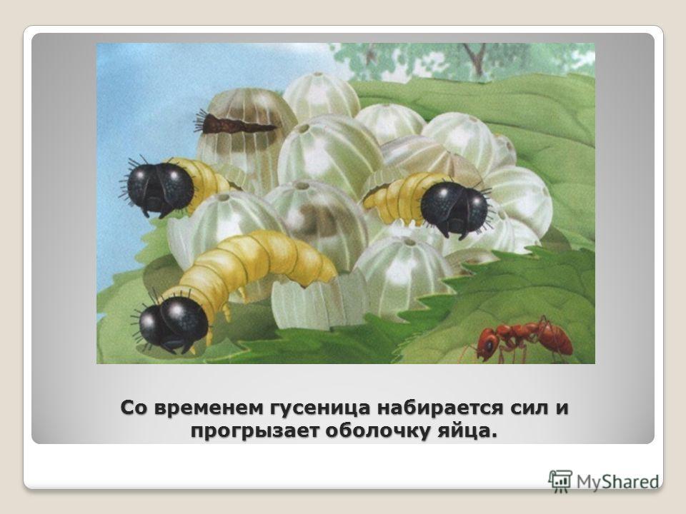 Со временем гусеница набирается сил и прогрызает оболочку яйца.