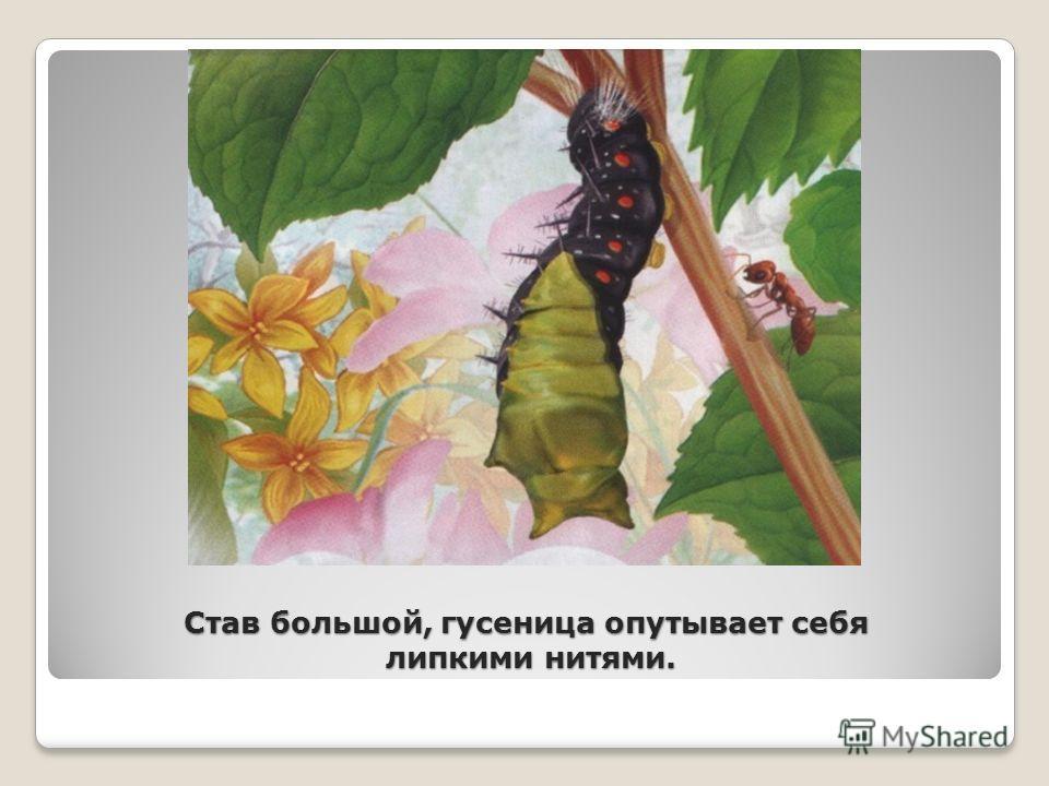 Став большой, гусеница опутывает себя липкими нитями.