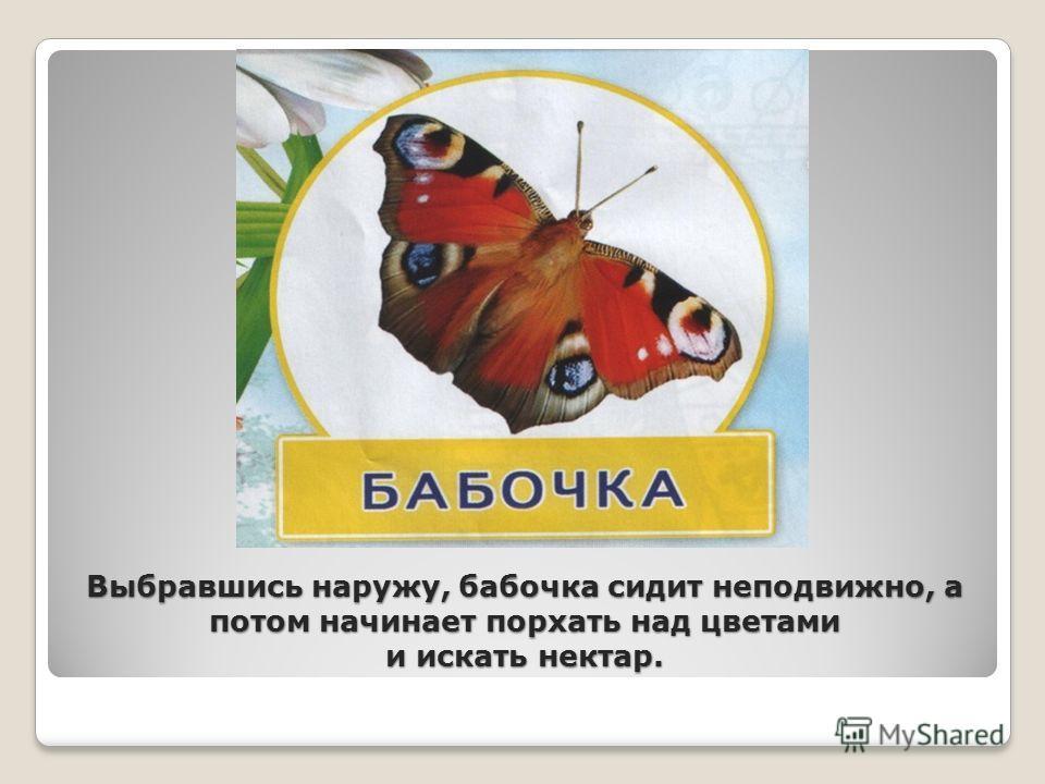 Выбравшись наружу, бабочка сидит неподвижно, а потом начинает порхать над цветами и искать нектар.