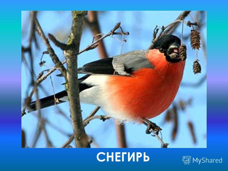 Это небольшая птица весом 30-35 грамм, верх головы, крылья и хвост чёрные, задняя часть шеи и спина светло-серые, надхвостье и подхвостье чисто- белые, нижняя часть тела ярко-красная у самцов, буровато-серая у самок. Щегольской наряд, за который обык