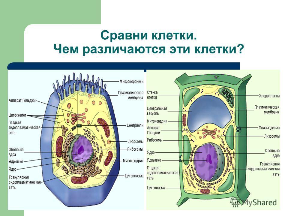 Сравни клетки. Чем различаются эти клетки?