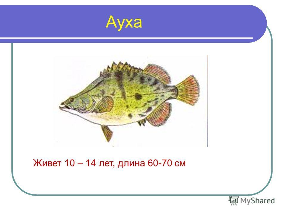Ауха Живет 10 – 14 лет, длина 60-70 см