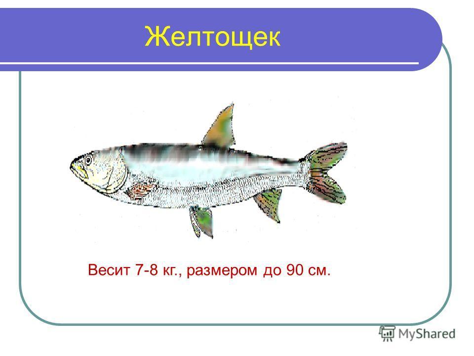 Желтощек Весит 7-8 кг., размером до 90 см.