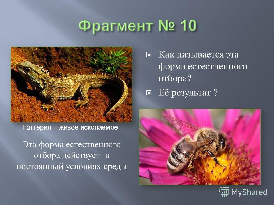 Как называется эта форма естественного отбора ? Её результат ? Гаттерия – живое ископаемое Эта форма естественного отбора действует в постоянный условиях среды