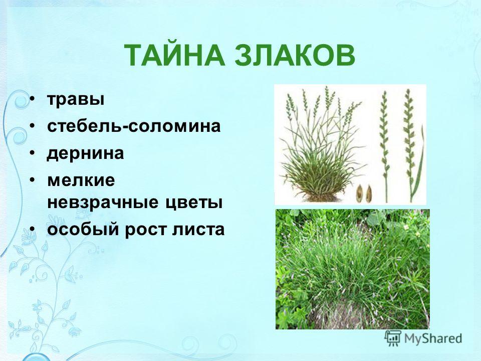 ТАЙНА ЗЛАКОВ травы стебель-соломина дернина мелкие невзрачные цветы особый рост листа