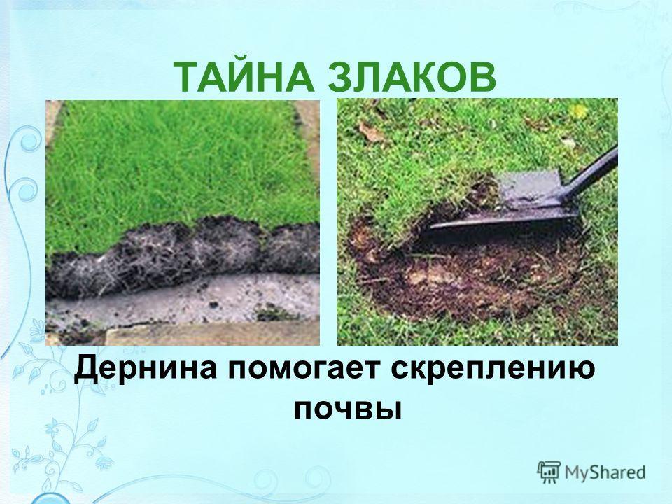 ТАЙНА ЗЛАКОВ Дернина помогает скреплению почвы