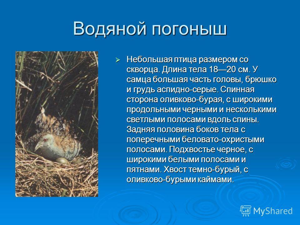 Водяной погоныш Небольшая птица размером со скворца. Длина тела 1820 см. У самца большая часть головы, брюшко и грудь аспидно-серые. Спинная сторона оливково-бурая, с широкими продольными черными и несколькими светлыми полосами вдоль спины. Задняя по