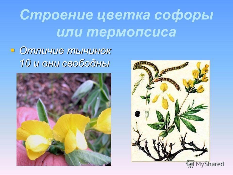 Строение цветка софоры или термопсиса Отличие тычинок 10 и они свободны Отличие тычинок 10 и они свободны