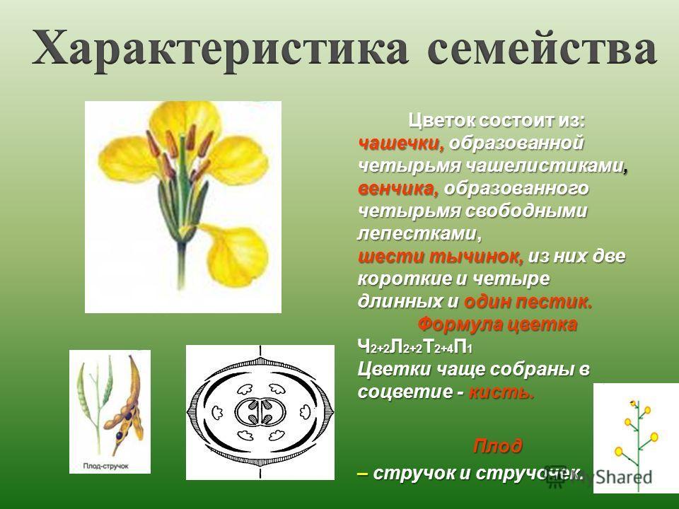 Цветок состоит из: чашечки, образованной четырьмя чашелистиками, венчика, образованного четырьмя свободными лепестками, шести тычинок, из них две короткие и четыре длинных и один пестик. Формула цветка Ч 2+2 Л 2+2 Т 2+4 П 1 Цветки чаще собраны в соцв