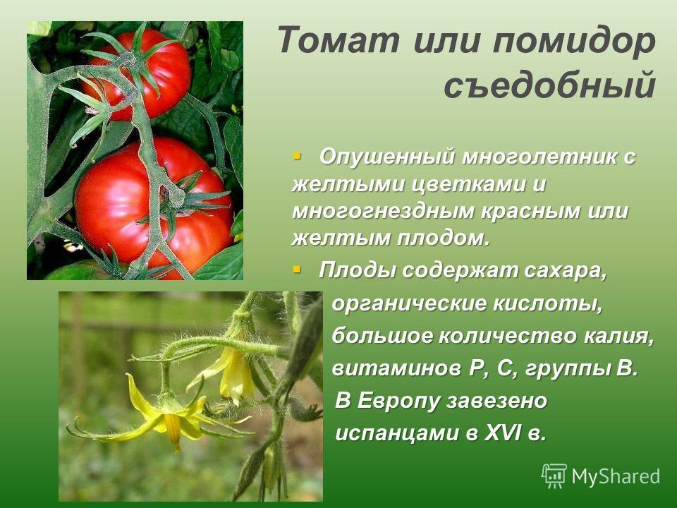 Томат или помидор съедобный Опушенный многолетник с желтыми цветками и многогнездным красным или желтым плодом. Опушенный многолетник с желтыми цветками и многогнездным красным или желтым плодом. Плоды содержат сахара, Плоды содержат сахара, органиче
