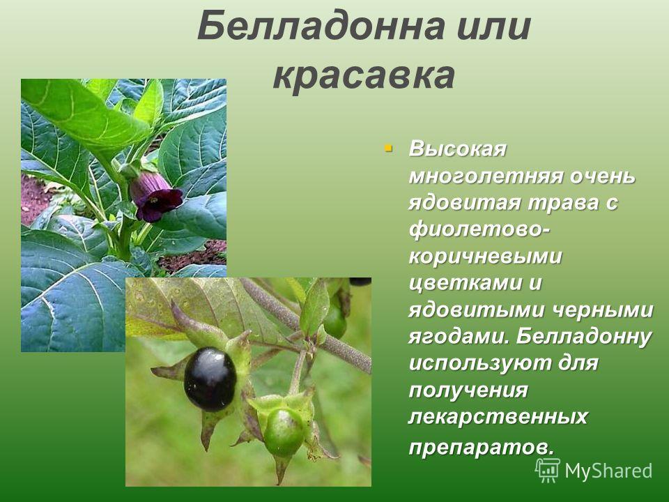 Белладонна или красавка Высокая многолетняя очень ядовитая трава с фиолетово- коричневыми цветками и ядовитыми черными ягодами. Белладонну используют для получения лекарственных препаратов. Высокая многолетняя очень ядовитая трава с фиолетово- коричн