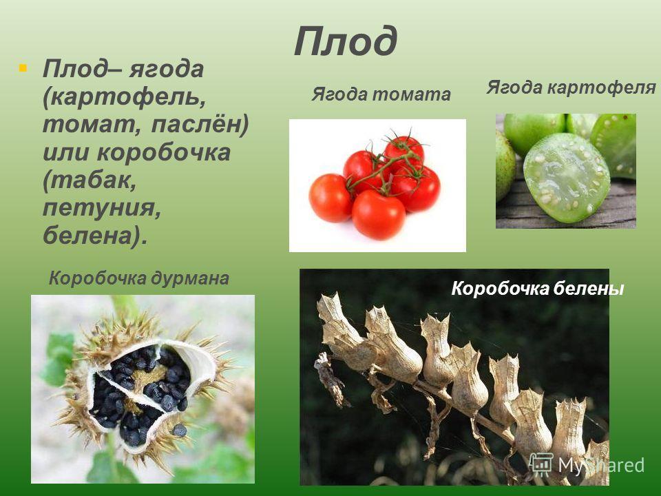 Плод Плод– ягода (картофель, томат, паслён) или коробочка (табак, петуния, белена). Ягода картофеля Ягода томата Коробочка белены Коробочка дурмана