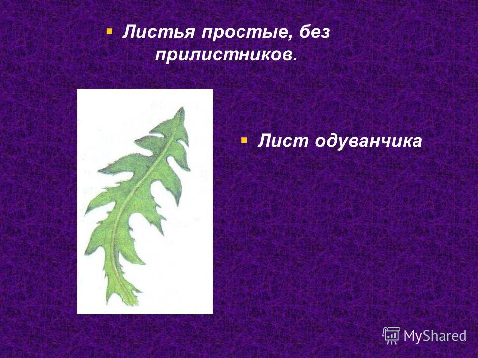 Лист одуванчика Листья простые, без прилистников.