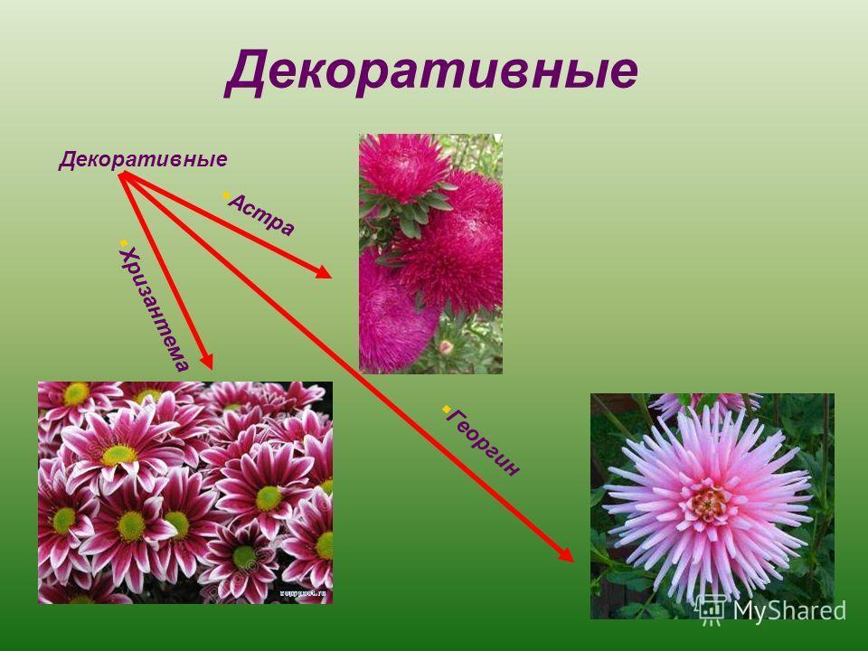Декоративные Астра Хризантема Георгин