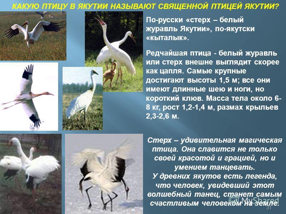 КАКУЮ ПТИЦУ В ЯКУТИИ НАЗЫВАЮТ СВЯЩЕННОЙ ПТИЦЕЙ ЯКУТИИ? По-русски «стерх – белый журавль Якутии», по-якутски «кыталык». Редчайшая птица - белый журавль или стерх внешне выглядит скорее как цапля. Самые крупные достигают высоты 1,5 м; все они имеют дли