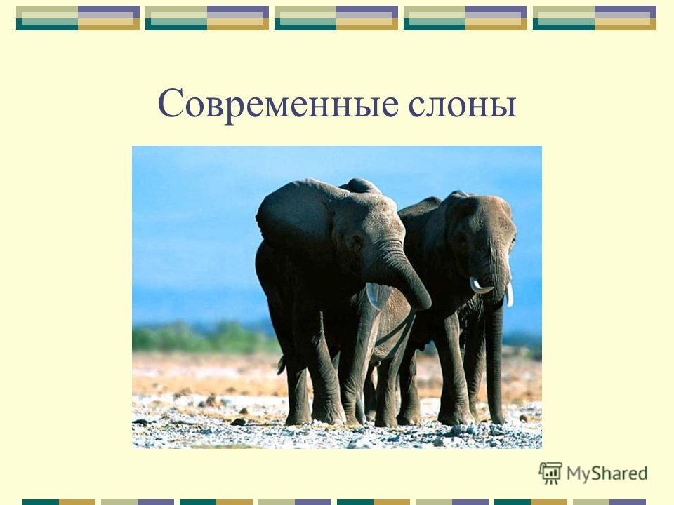 Современные слоны