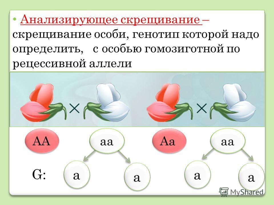 Анализирующее скрещивание – скрещивание особи, генотип которой надо определить, с особью гомозиготной по рецессивной аллели АА Аа G:G: а а а а а а а а аа