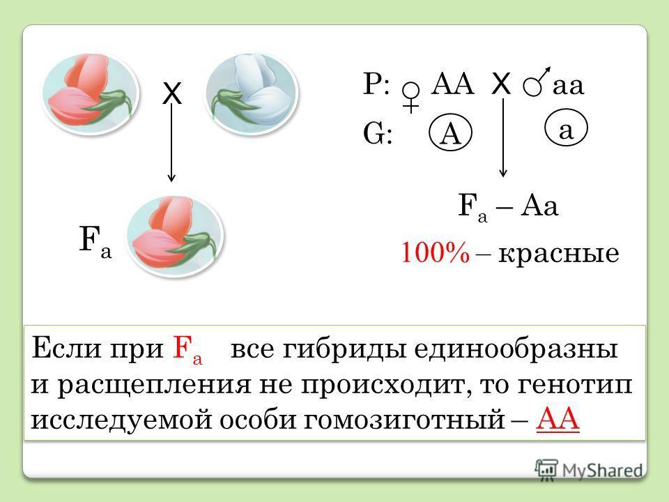 Если при F а все гибриды единообразны и расщепления не происходит, то генотип исследуемой особи гомозиготный – АА Р: АА Х аа А а F а – Аа 100% – красные FаFа Х G:G: