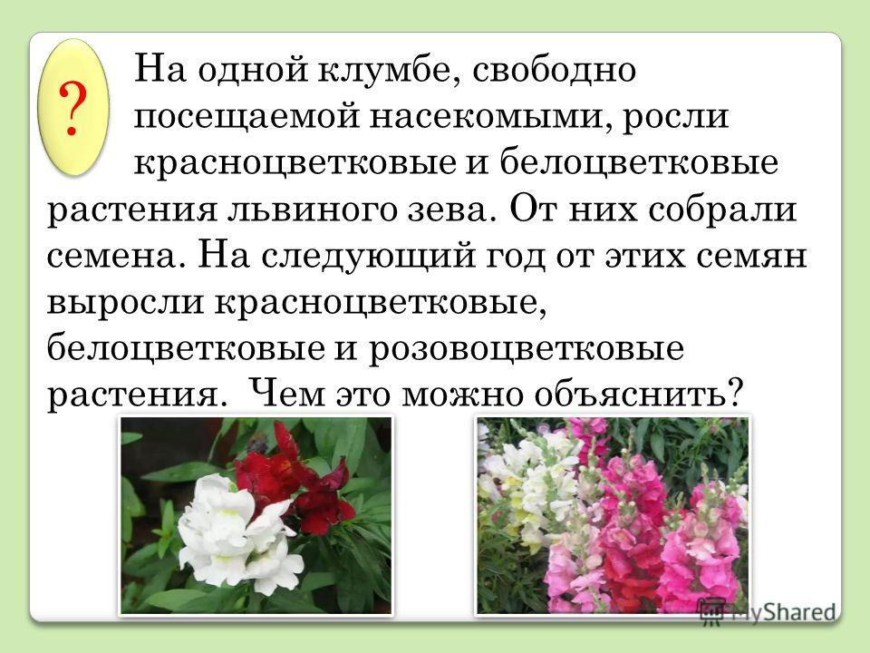 На одной клумбе, свободно посещаемой насекомыми, росли красноцветковые и белоцветковые растения львиного зева. От них собрали семена. На следующий год от этих семян выросли красноцветковые, белоцветковые и розовоцветковые растения. Чем это можно объя