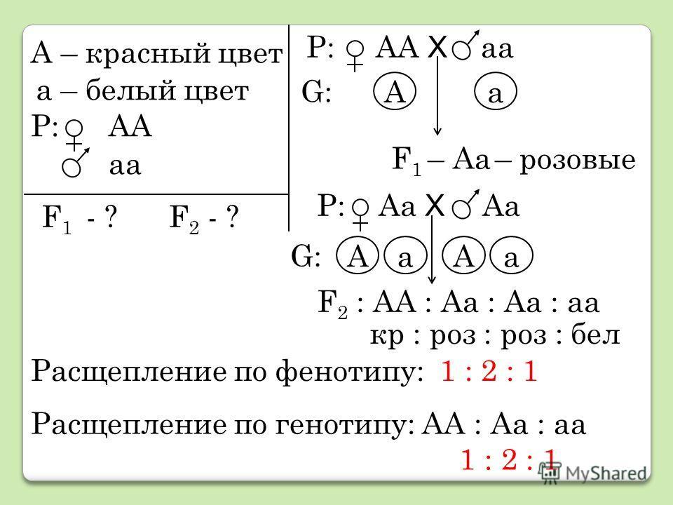 А – красный цвет а – белый цвет Р: АА аа F 1 - ?F 2 - ? Р: АА Х аа Аа F 1 – Аа – розовые Р: Аа Х Аа АаАа F 2 : АА : Аа : Аа : аа кр : роз : роз : бел Расщепление по фенотипу: 1 : 2 : 1 Расщепление по генотипу: АА : Аа : аа 1 : 2 : 1 G:G: G:G: