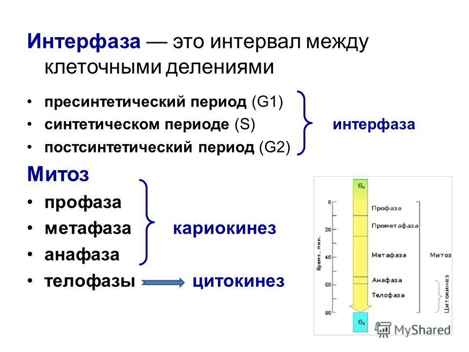 Интерфаза это интервал между клеточными делениями пресинтетический период (G1) синтетическом периоде (S) интерфаза постсинтетический период (G2) Митоз профаза метафаза кариокинез анафаза телофазы цитокинез
