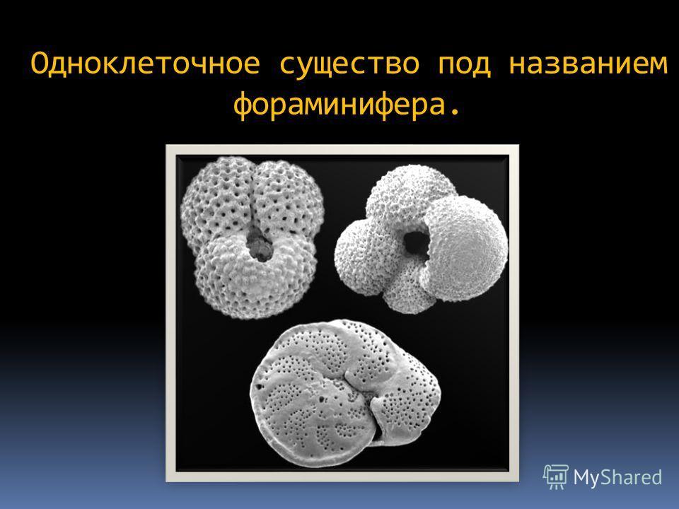 Одноклеточное существо под названием фораминифера.
