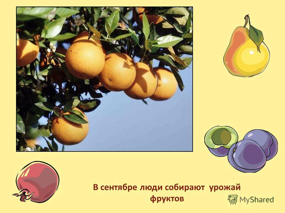 В сентябре люди собирают урожай фруктов