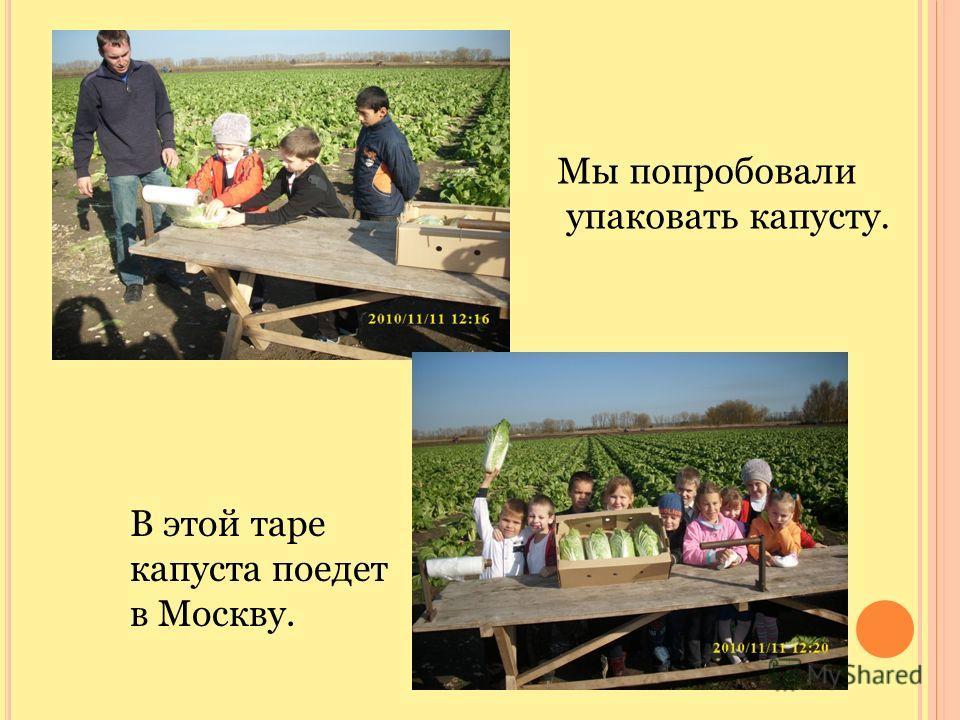 Мы попробовали упаковать капусту. В этой таре капуста поедет в Москву.