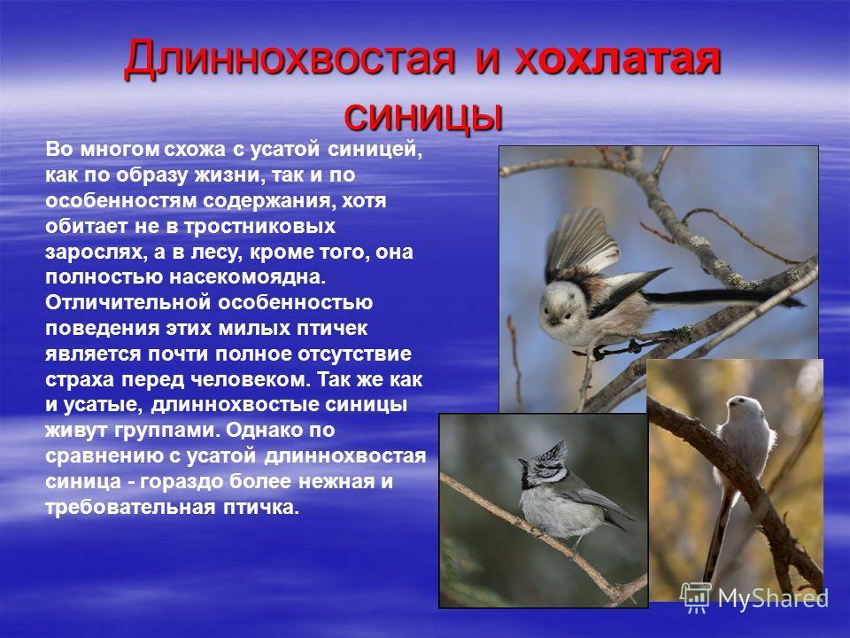 Длиннохвостая и хохлатая синицы Во многом схожа с усатой синицей, как по образу жизни, так и по особенностям содержания, хотя обитает не в тростниковых зарослях, а в лесу, кроме того, она полностью насекомоядна. Отличительной особенностью поведения э