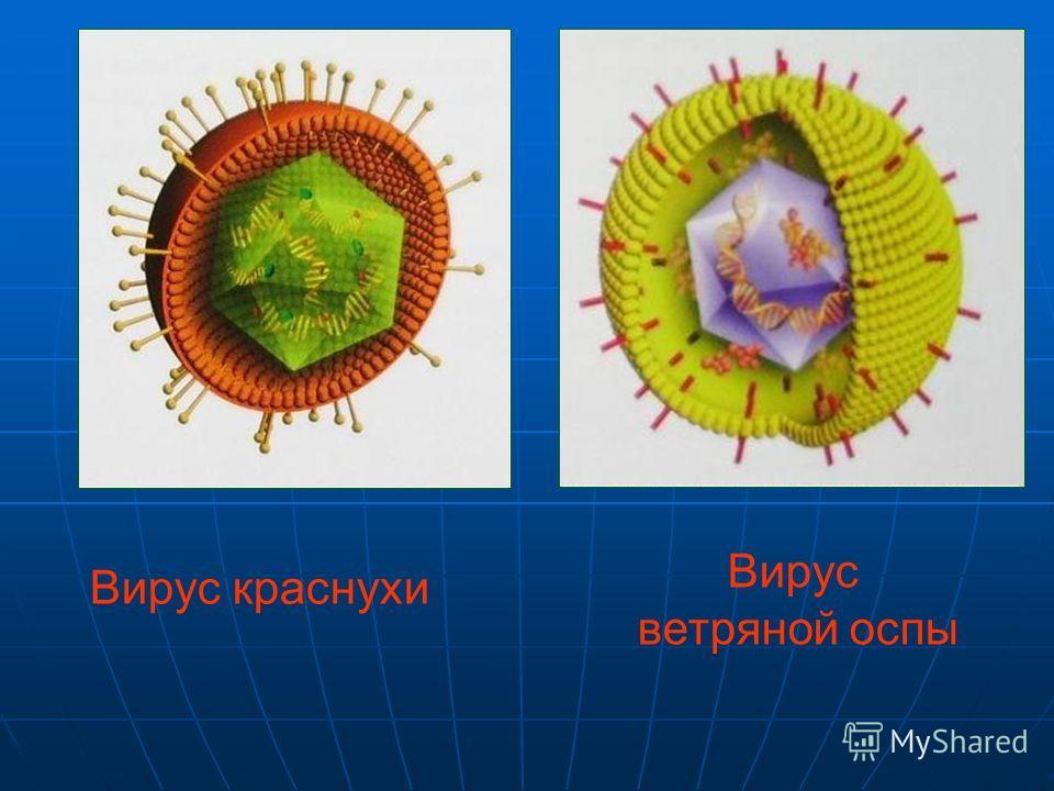 Интересно Икосаэдр оказался в центре внимания биологов в их спорах относительно формы вирусов. Икосаэдр оказался в центре внимания биологов в их спорах относительно формы вирусов. Вирус не может быть совершенно круглым, как считалось ранее. Чтобы уст