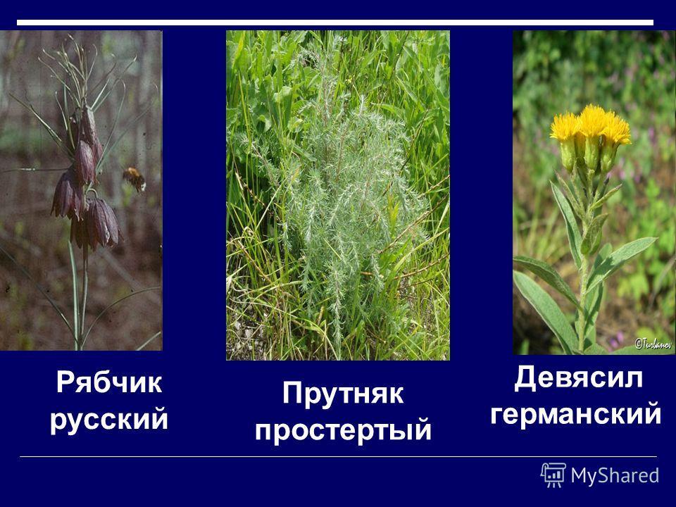 Гвоздика иглолистная Астрагал камнеломковый.