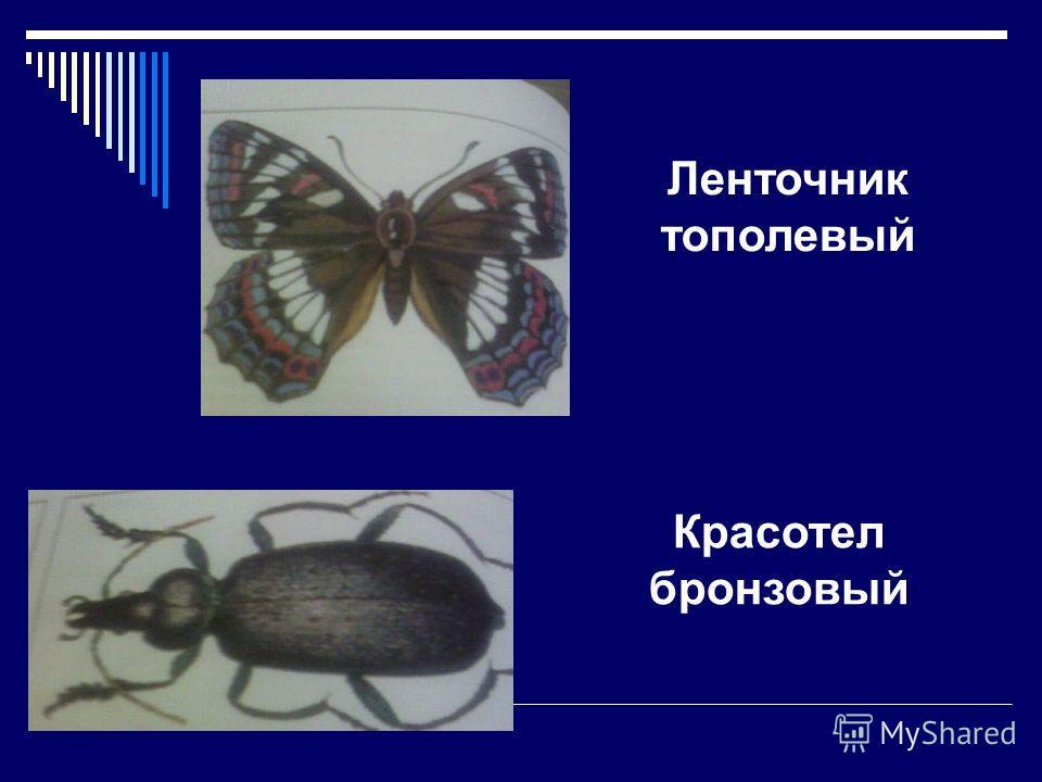 Животные внесенные в Красную книгу г. Бугульмы БАЛОБАН ЩУРКА ЗОЛОТИСТАЯ