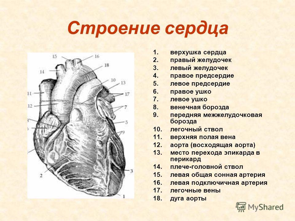 Где находится левый желудочек сердца