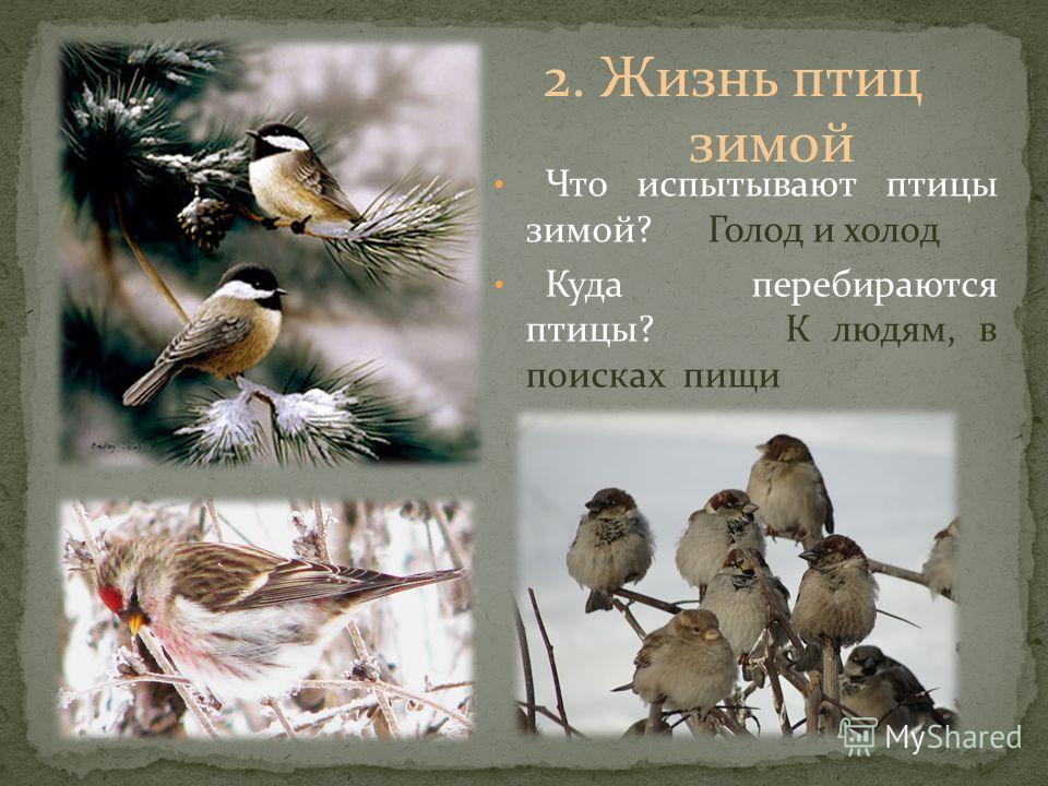 Что испытывают птицы зимой? Голод и холод Куда перебираются птицы? К людям, в поисках пищи 2. Жизнь птиц зимой