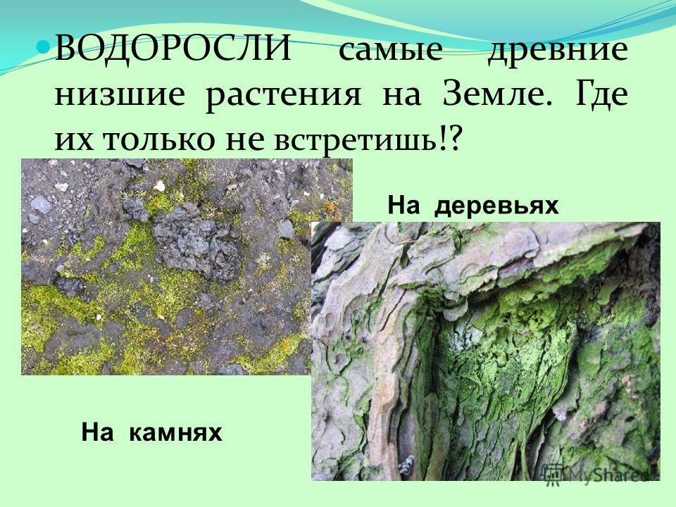ВОДОРОСЛИ самые древние низшие растения на Земле. Где их только не встретишь !? На деревьях На камнях