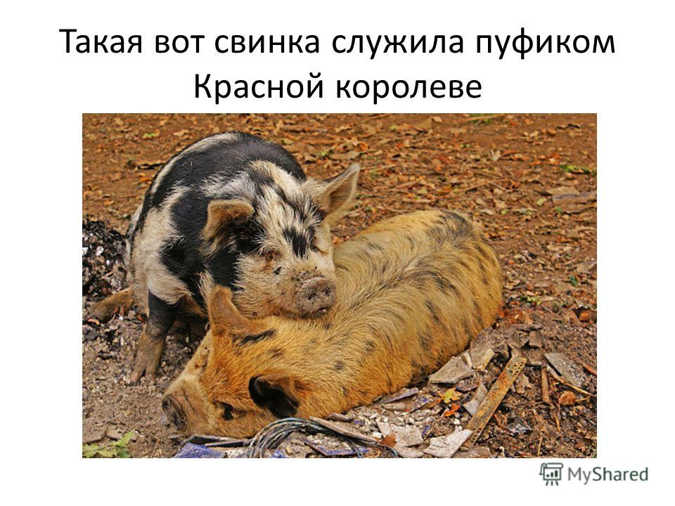 Такая вот свинка служила пуфиком Красной королеве
