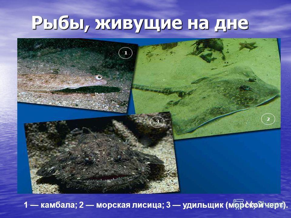 Рыбы, живущие на дне Рыбы, живущие на дне 1 камбала; 2 морская лисица; 3 удильщик (морской черт).