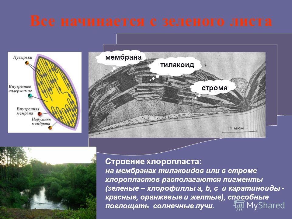 Строение хлоропласта: на мембранах тилакоидов или в строме хлоропластов располагаются пигменты (зеленые – хлорофиллы a, b, c и каратиноиды - красные, оранжевые и желтые), способные поглощать солнечные лучи. Все начинается с зеленого листа тилакоид ст