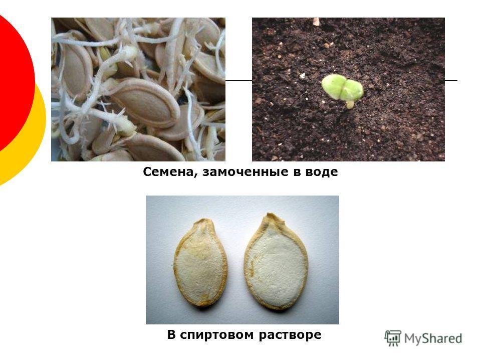 Семена, замоченные в воде В спиртовом растворе