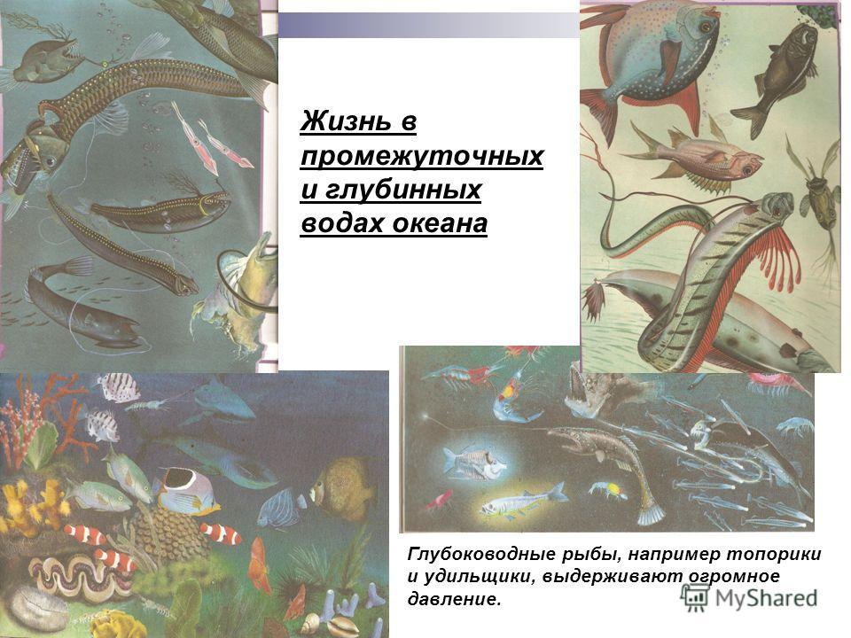 Жизнь в промежуточных и глубинных водах океана Глубоководные рыбы, например топорики и удильщики, выдерживают огромное давление.