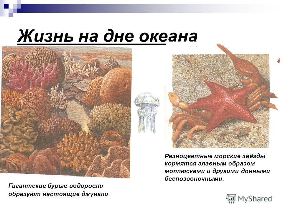 Жизнь на дне океана Разноцветные морские звёзды кормятся главным образом моллюсками и другими донными беспозвоночными. Гигантские бурые водоросли образуют настоящие джунгли.
