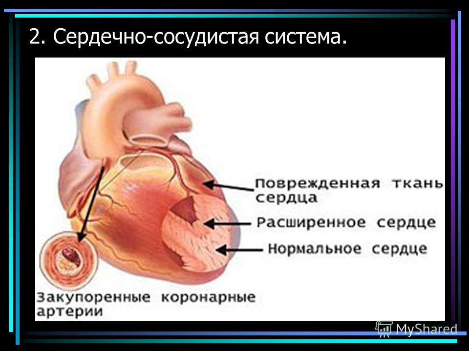 2. Сердечно-сосудистая система.