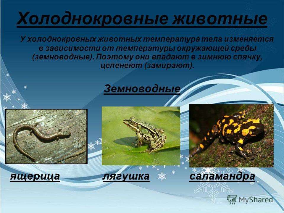 Холоднокровные животные У холоднокровных животных температура тела изменяется в зависимости от температуры окружающей среды (земноводные). Поэтому они впадают в зимнюю спячку, цепенеют (замирают). Земноводные ящерица лягушка саламандра