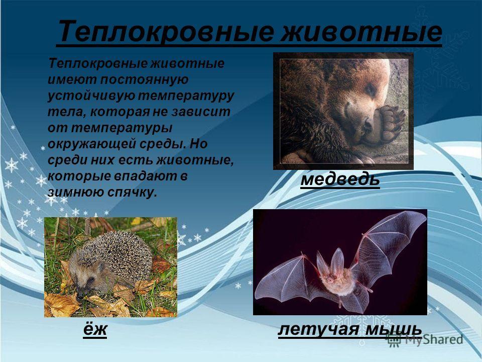 Теплокровные животные Теплокровные животные имеют постоянную устойчивую температуру тела, которая не зависит от температуры окружающей среды. Но среди них есть животные, которые впадают в зимнюю спячку. медведь ёж летучая мышь