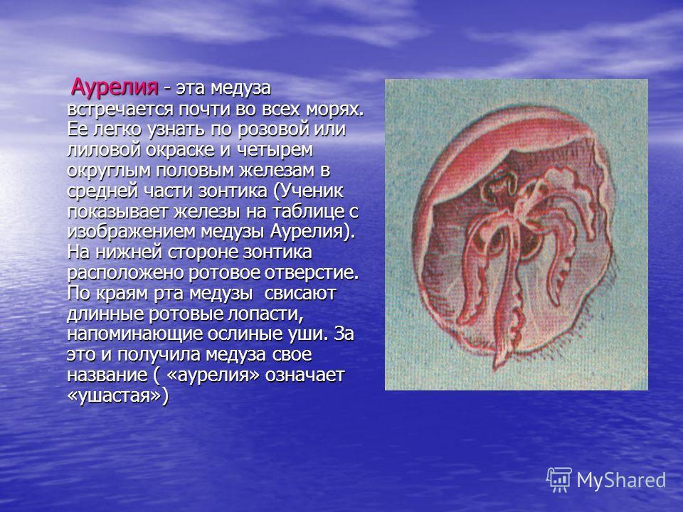 Аурелия - эта медуза встречается почти во всех морях. Ее легко узнать по розовой или лиловой окраске и четырем округлым половым железам в средней части зонтика (Ученик показывает железы на таблице с изображением медузы Аурелия). На нижней стороне зон
