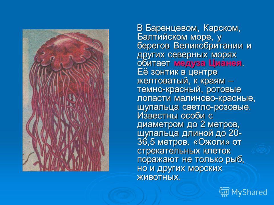 В Баренцевом, Карском, Балтийском море, у берегов Великобритании и других северных морях обитает медуза Цианея. Её зонтик в центре желтоватый, к краям – темно-красный, ротовые лопасти малиново-красные, щупальца светло-розовые. Известны особи с диамет