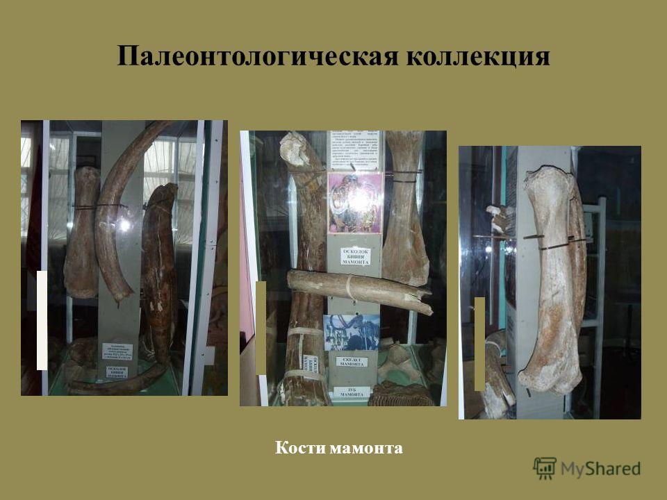 Палеонтологическая коллекция Кости мамонта