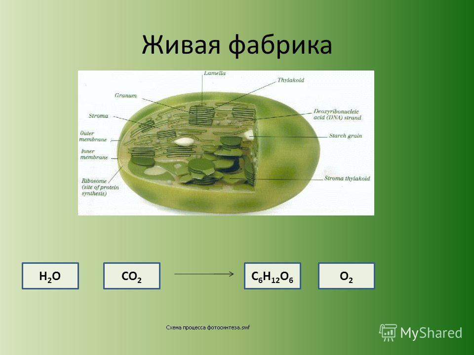 Живая фабрика СО 2 Н2ОН2ОС 6 Н 12 О 6 О2О2
