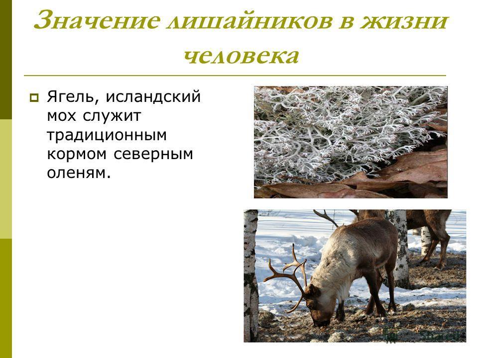 Значение лишайников в жизни человека Ягель, исландский мох служит традиционным кормом северным оленям.