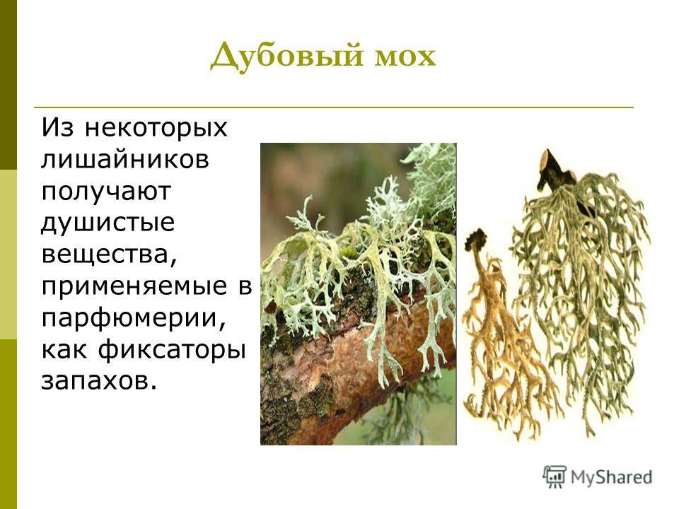 Дубовый мох Из некоторых лишайников получают душистые вещества, применяемые в парфюмерии, как фиксаторы запахов.